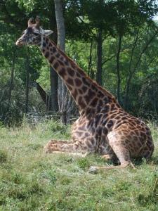 wilds giraffe